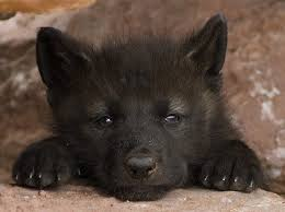 kis fekete farkas