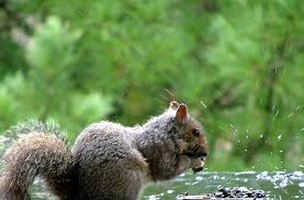 szorgos mókus